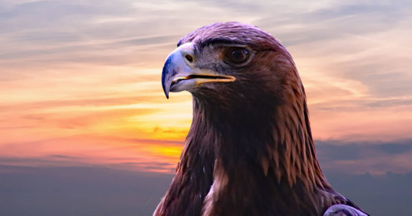 how sales hunters stalk their prey - photo of eagle at sunset from https://pixabay.com/en/golden-eagle-eagle-bird-nature-2352186/